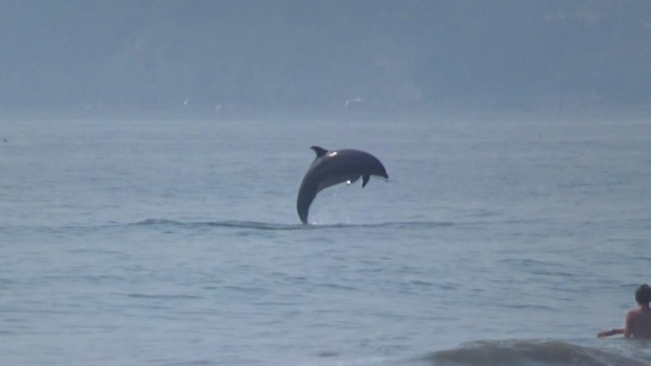 Dolphin spotted swimming, jumping at Stinson Beach, Marin County, California