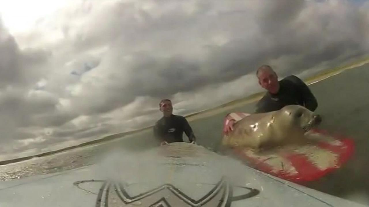 A fearless baby seal caught some waves with surfers, and it was all caught on camera.