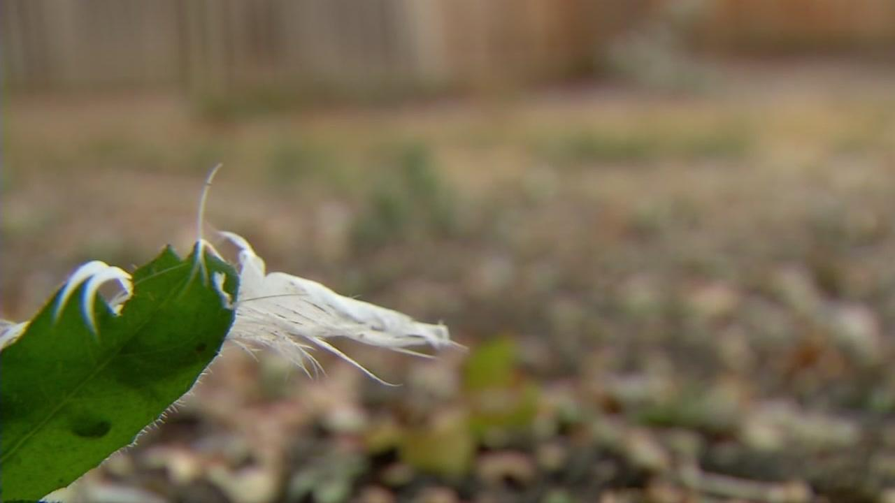 A feather appears in a Brentwood familys backyard on Friday, Sept. 29, 2017.