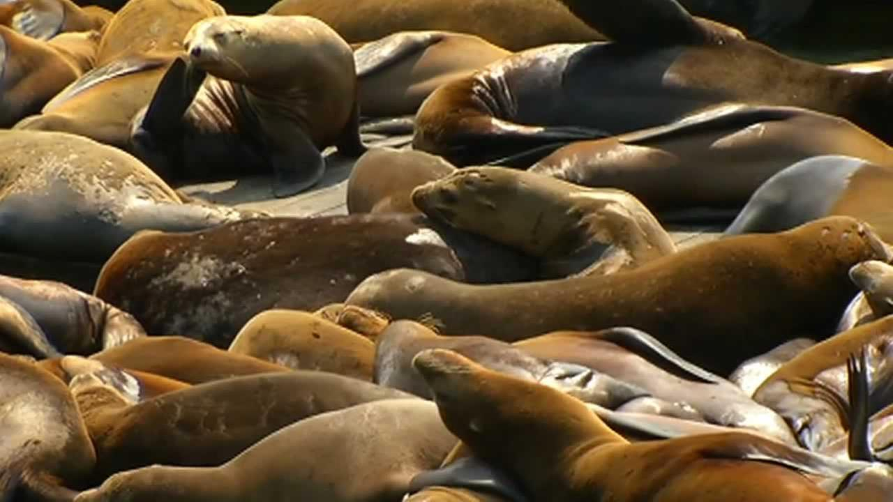Pier 39s sea lions suddenly returned to the docks on Thursday, a little more than a month after they vanished.