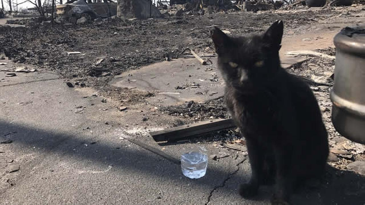A cat in front of an area burnt down by wildfires.