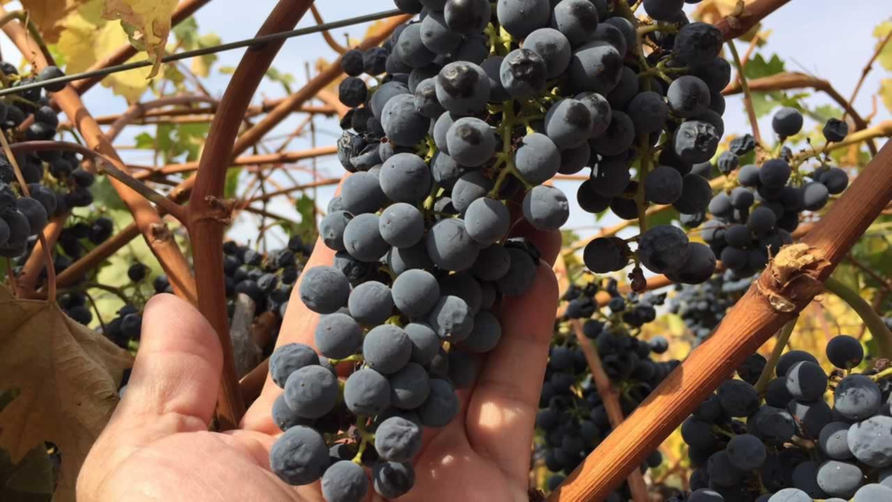 Grapes from Imagery Estate Winery in Glen Ellen, Calif. are seen on Tuesday, Oct. 17, 2017.
