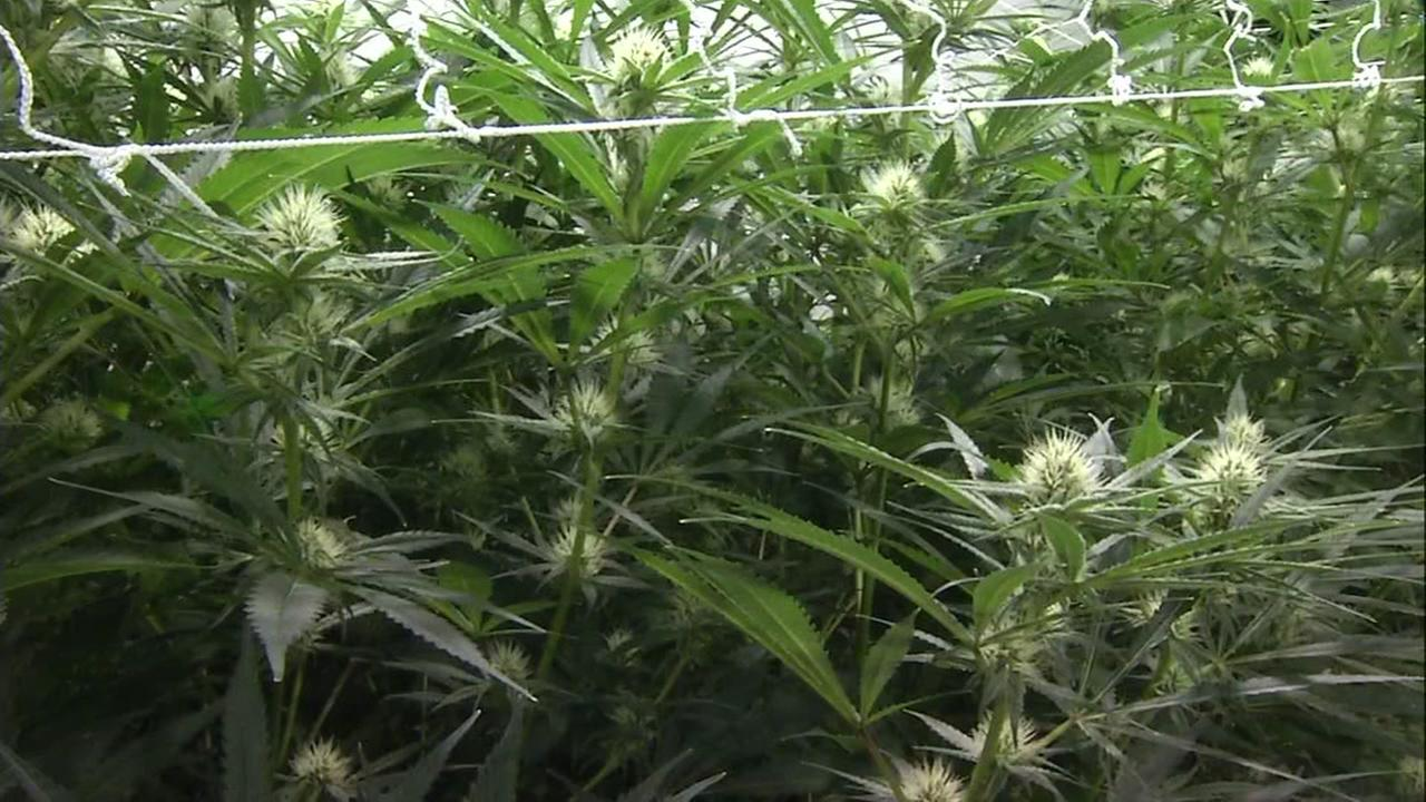 San Jose could give green light to recreational marijuana