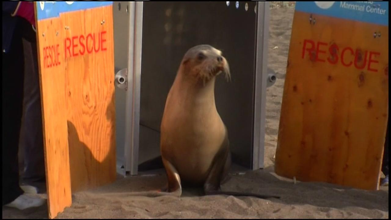 A male California sea lion appears on Friday, Dec. 15, 2017 before being released back into the ocean.