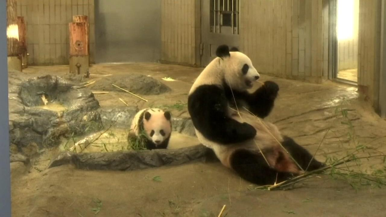 Baby panda Xiang Xiang, with mother in Tokyo, Japan, Tuesday, December 19, 2019.