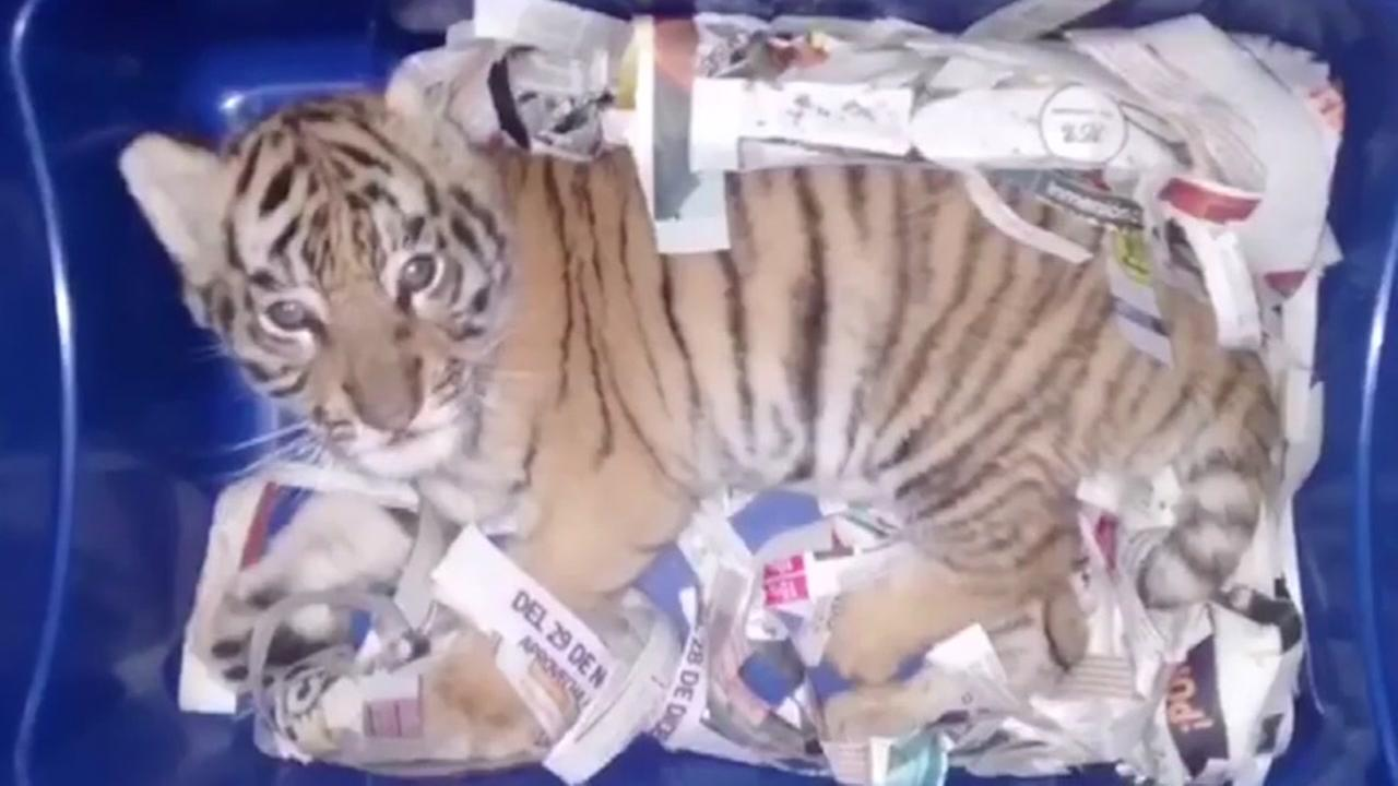 Mexican authorities rescued this Bengal tiger cub from a shipping container.