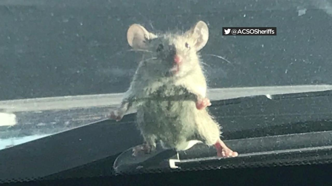 Undated photo of mouse found on windshield of parked police cruiser in Oakland, California.