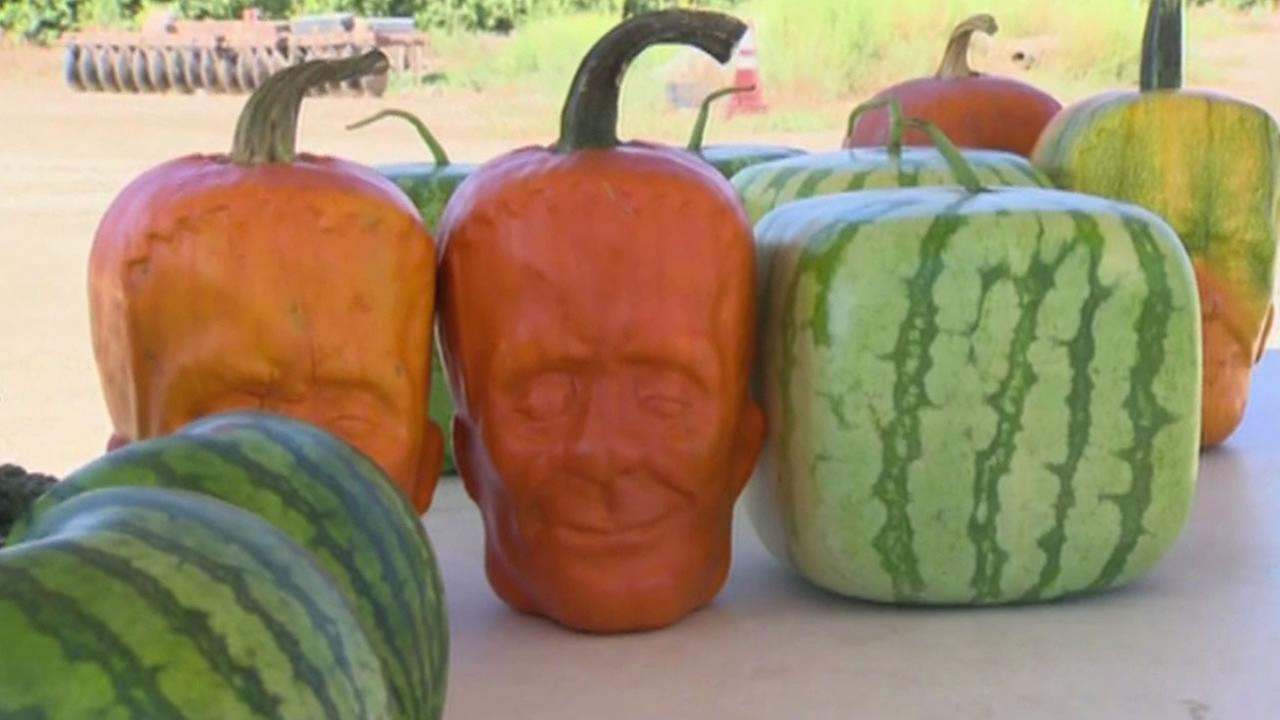 A Ventura County pumpkin farmer is giving people an early scare with the ghoulish gourds hes growing.
