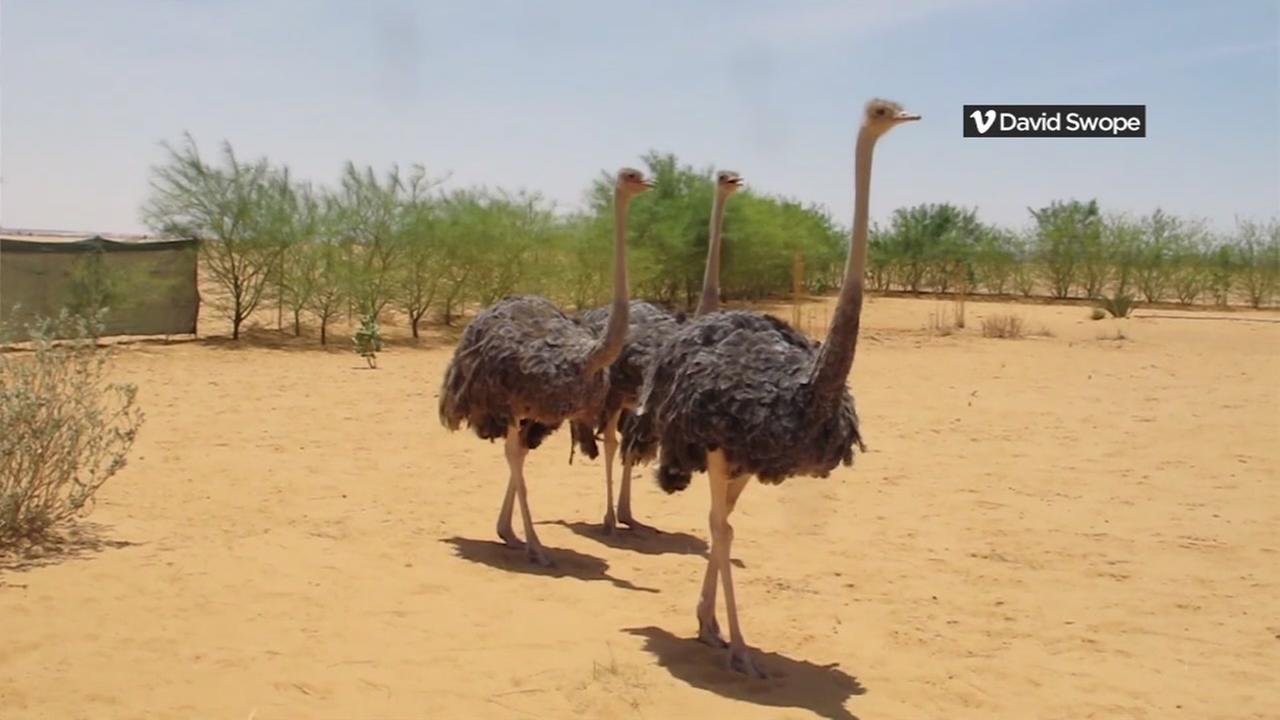 This is an undated image of three ostriches.