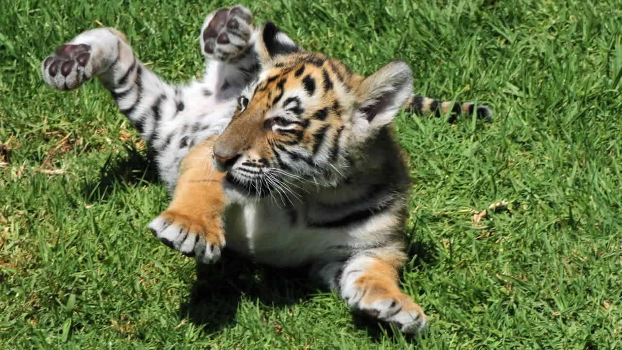 Bengal tiger cubs make their debut at Six Flags Discovery Kingdom in Vallejo.