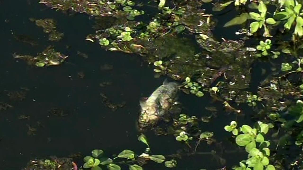 dead fish in Vasona Lake in Los Gatos