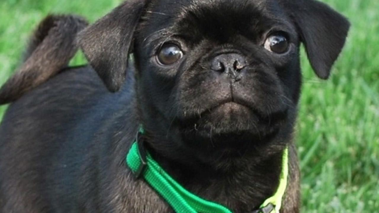 The Ebel family thought they were adopting this pug named Bosco.