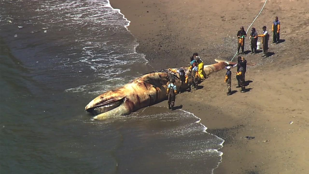 A dead whale is seen on Angel Island on Wednesday, May 9, 2018.