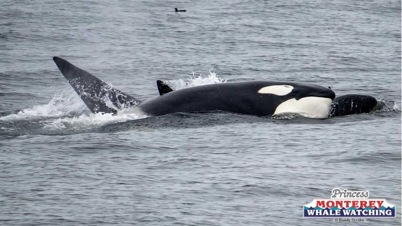 A pod of orcas was spotted off the coast of Monterey, Calif. on Sunday, May 13, 2018.