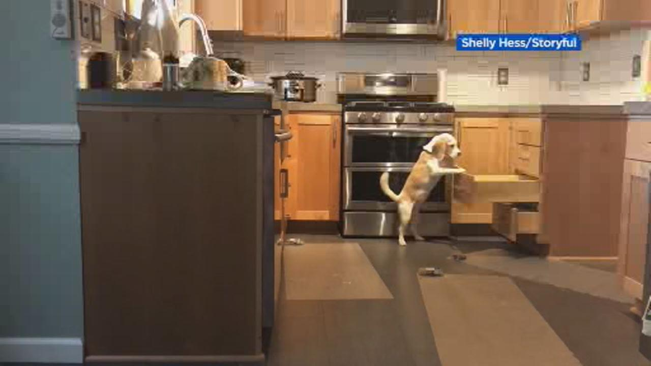 This undated image shows clever beagle stopping at nothing to reach kitchen counter.