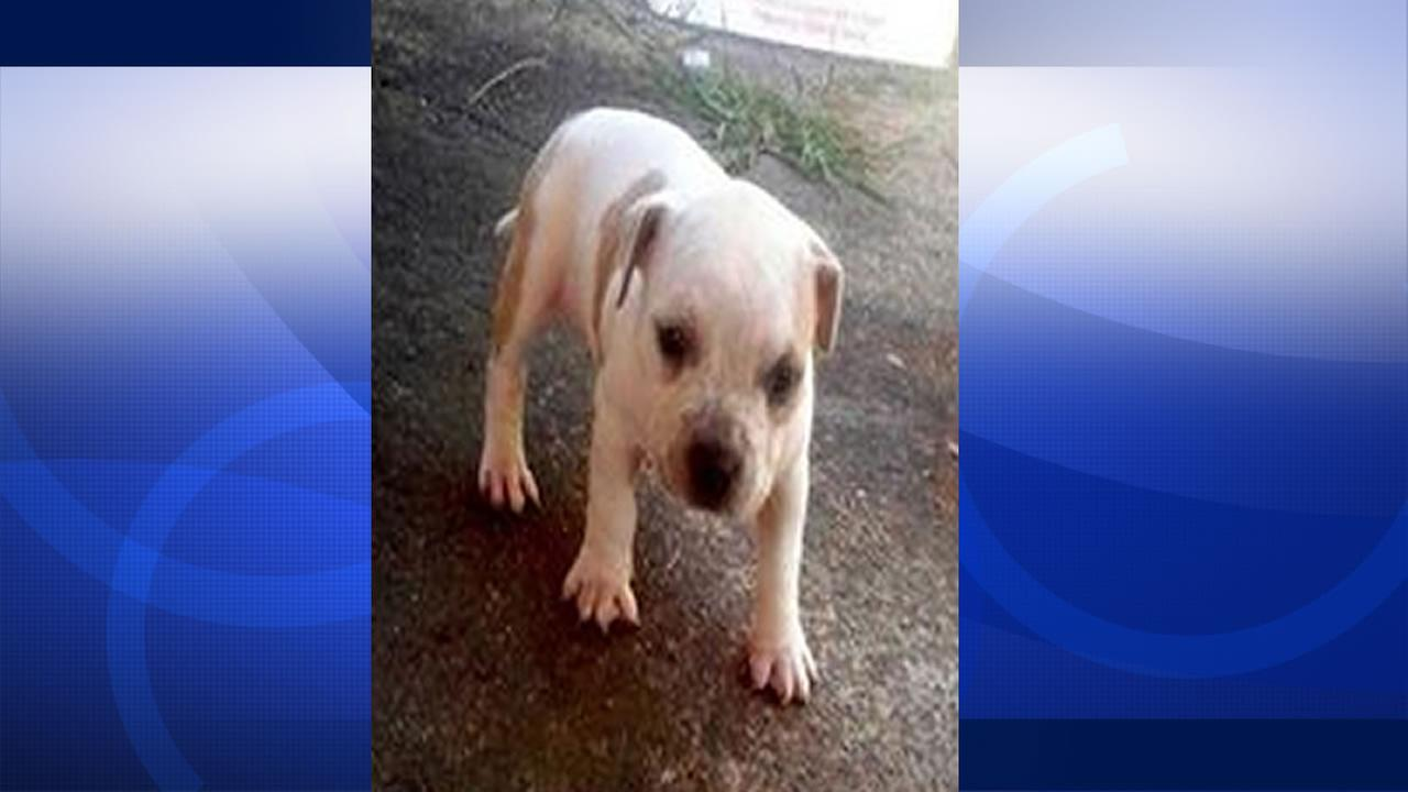 Bella, the puppy, was stolen by home burglars in Napa.