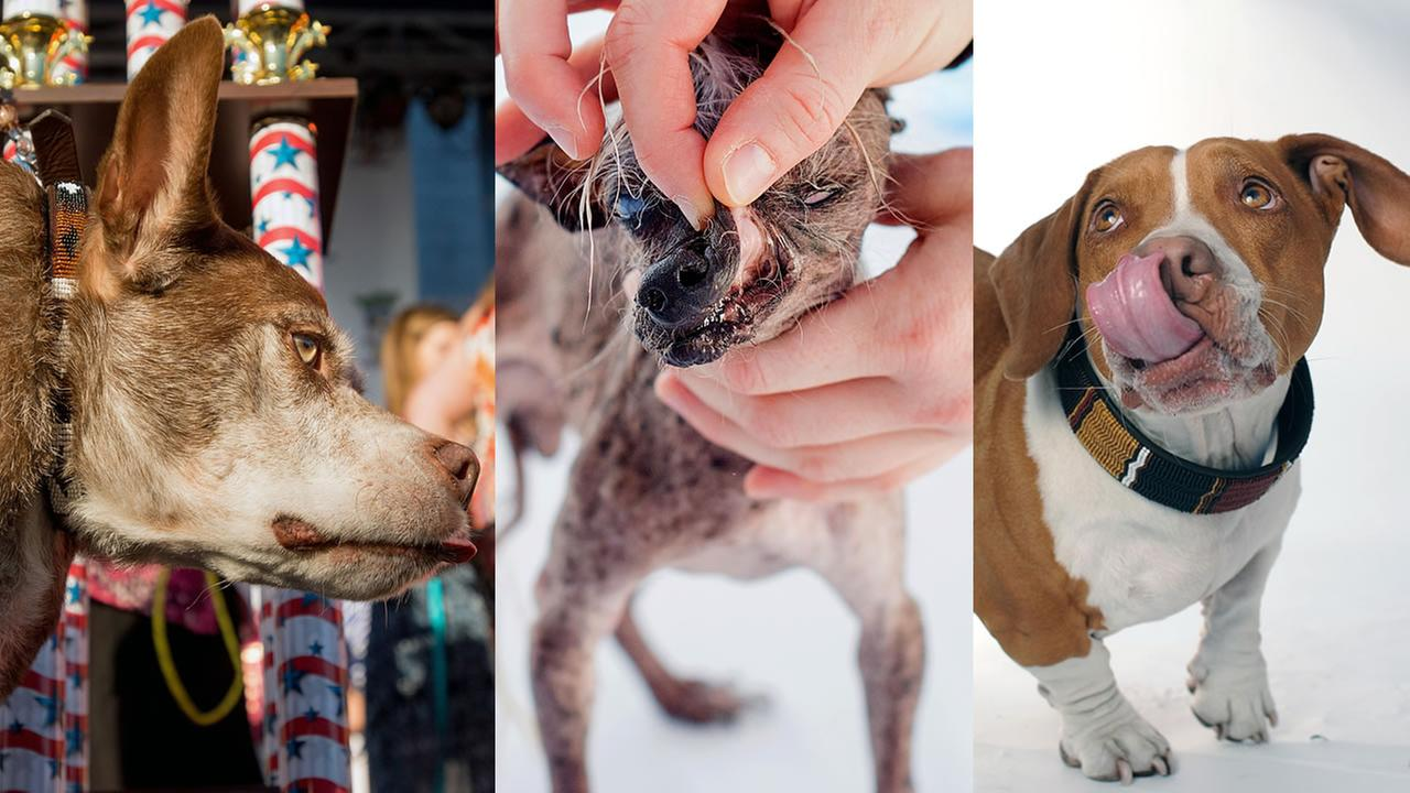 Quasi Modo, SweePee Rambo, and Walee appear during various years of the Worlds Ugliest Dog Contest in Petaluma, Calif.