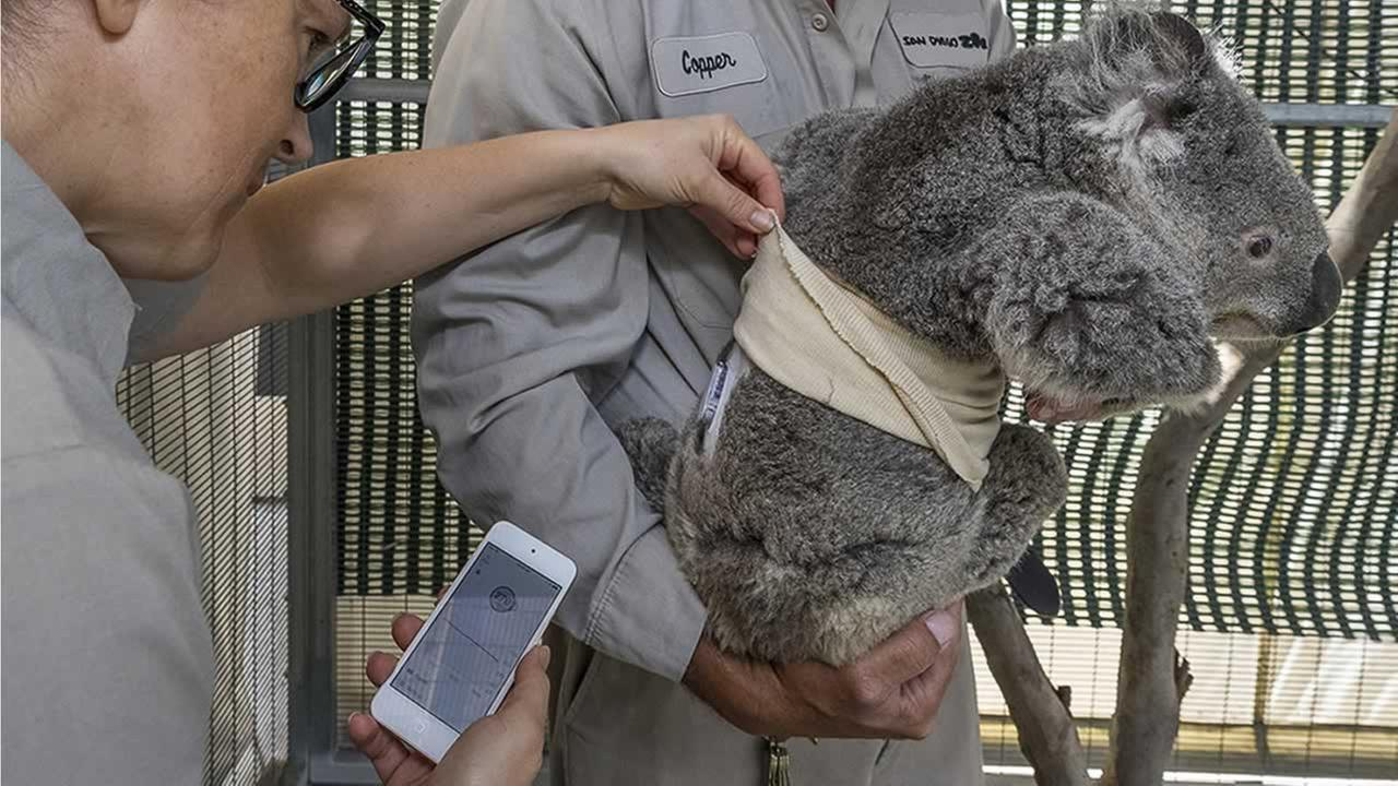 Quincy the koala, who has diabetes, gets fitted with a device to monitor his glucose levels at the San Diego Zoo on June 15, 2018.