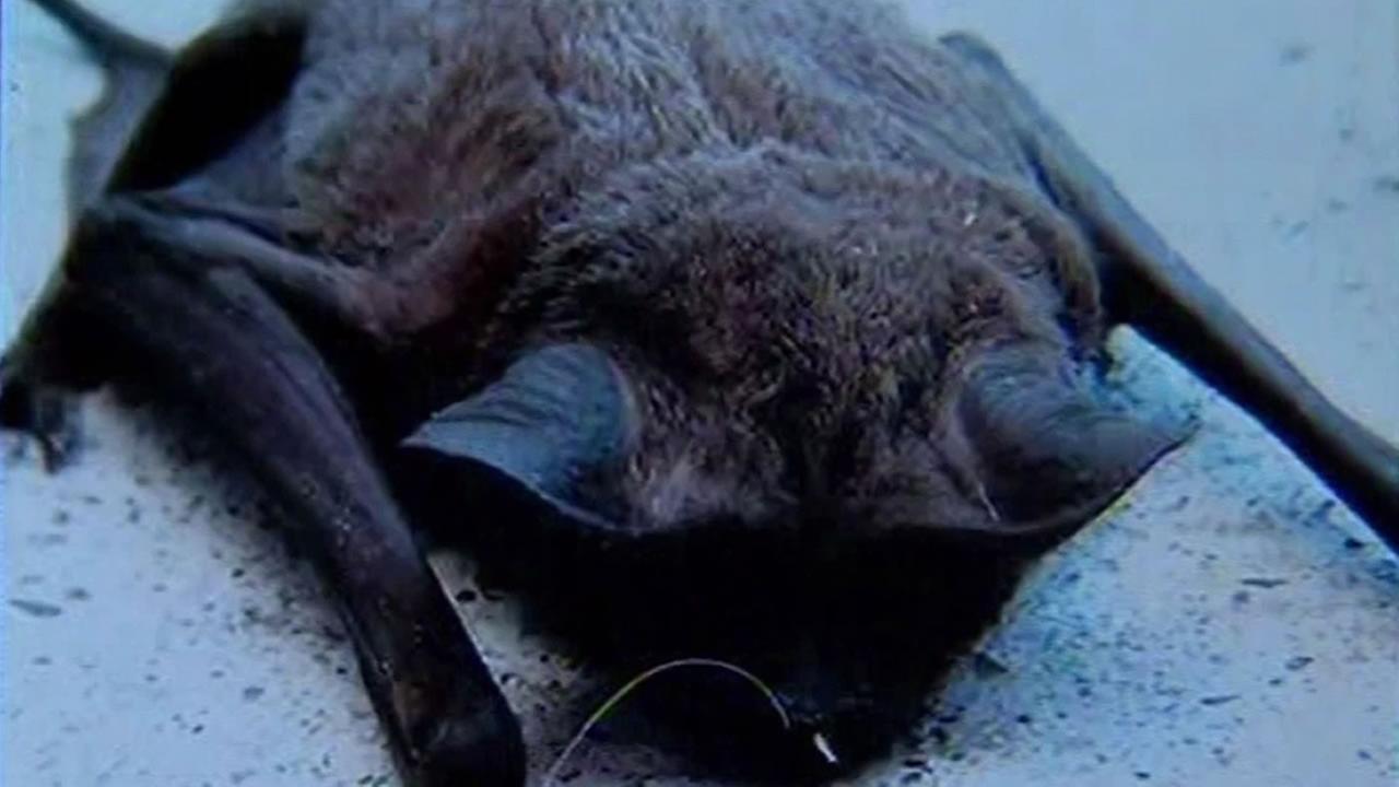 A dead rabid bat was found in San Franciscos Richmond District.