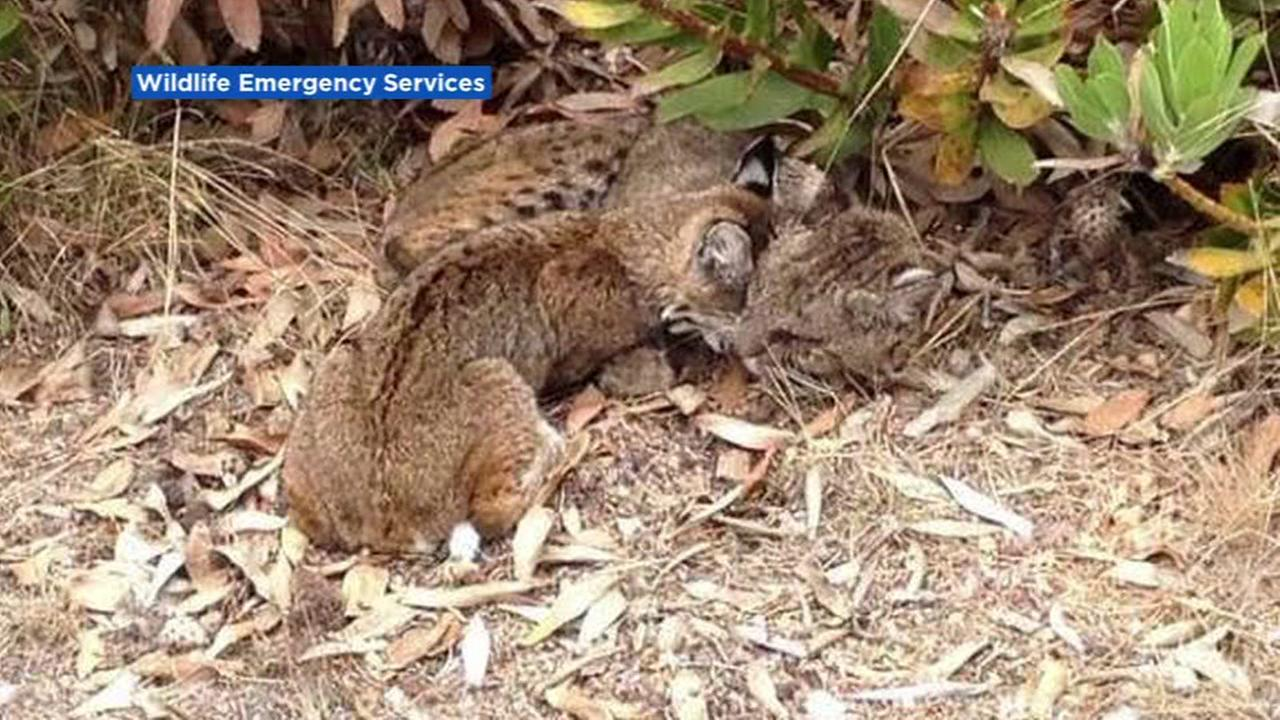 Wildlife Emergency Services posted this photo of a dying mother bobcat with her cub.