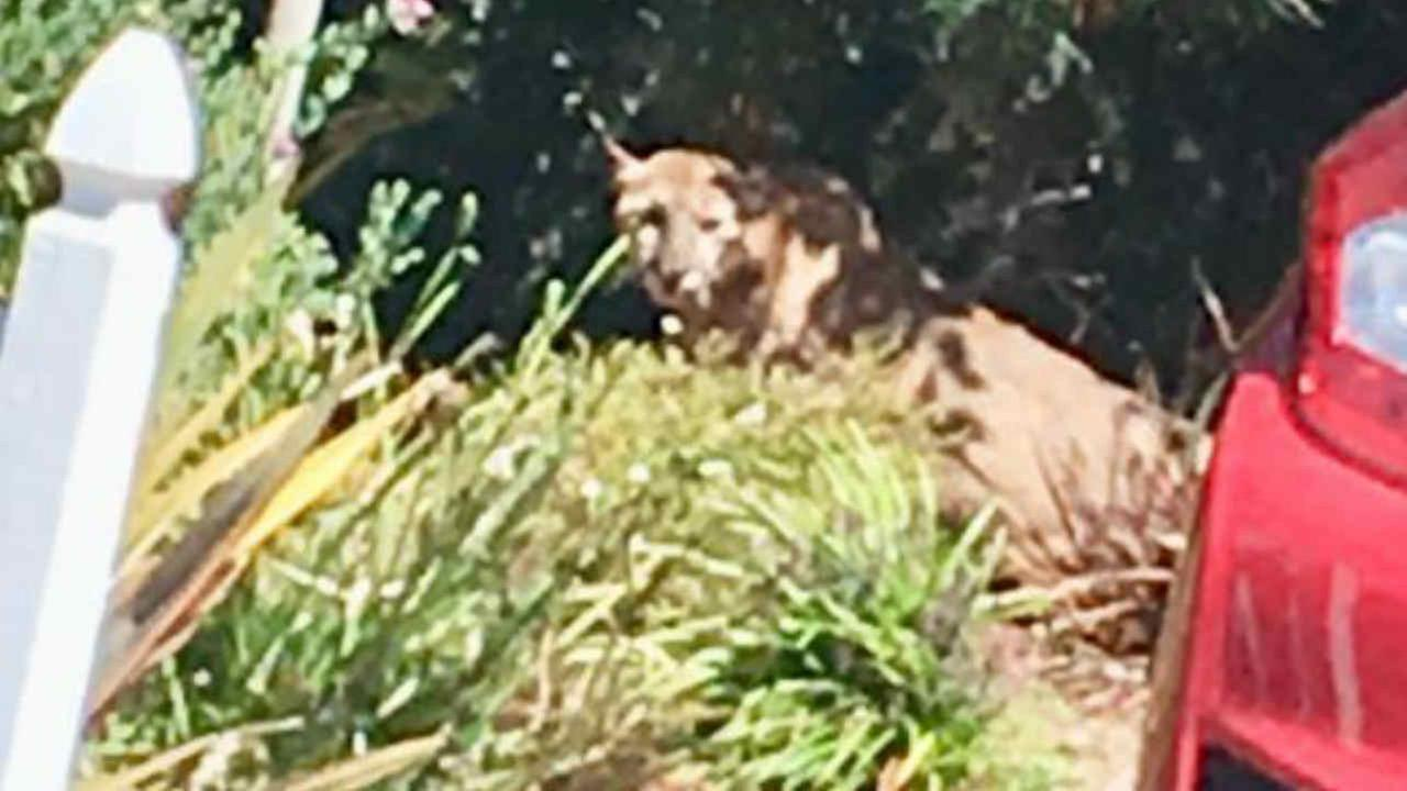 A mountain lion is seen in a San Mateo, Calif. neighborhood on Monday, July 16, 2018.