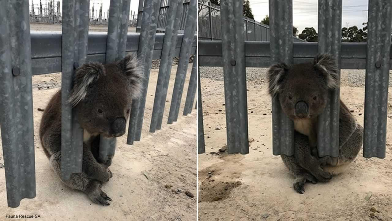 Fauna Rescue SA photographed a koala who got his head trapped in fencing in Happy Valley, Australia on July 17, 2018.