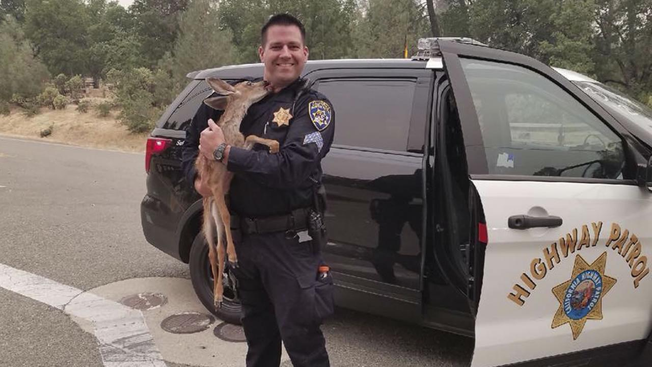 In this photo released July 28, 2018, CHP Sergeant David Fawson holds a month-old fawn that was located by Cal Fire without a mother inside the Carr Fire line near Redding, Calif.
