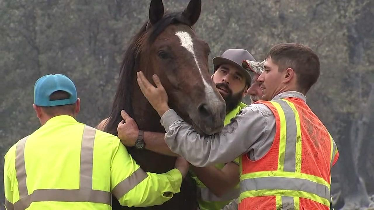 Elli the horse was caught on video evading capture by a group of construction workers who were trying to corral the frightened mustang in Redding, Calif. on Tuesday, July 31, 2018.