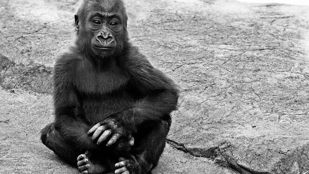 SF Zoo Gorilla named Kabibe