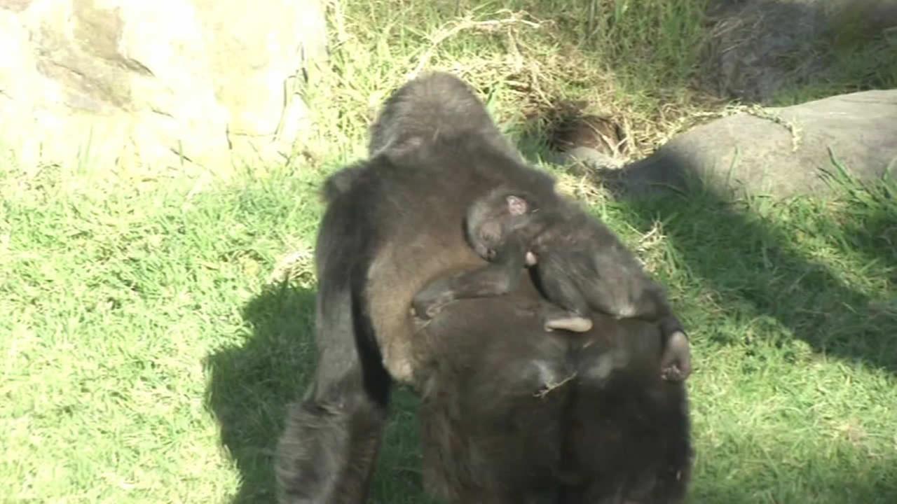 Kabibe at the San Francisco Zoo.