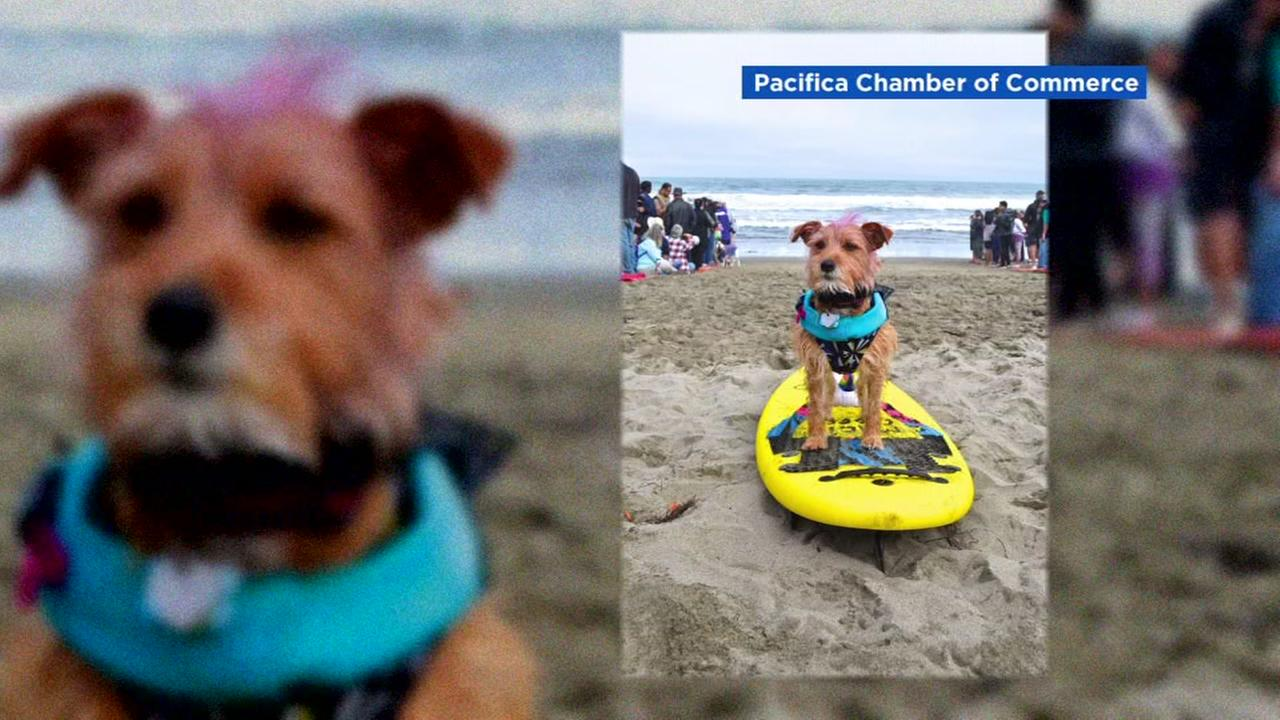 A cute pup chills out on the beat at the World Dog Surfing Championships in Pacifica, Calif., on Aug. 4, 2018.