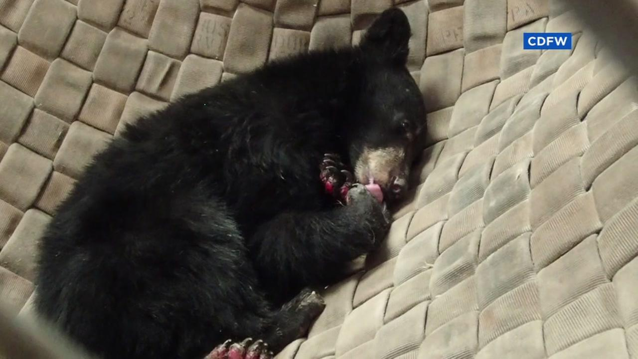 This young bear was rescued from the Carr Fire burning in Shasta County, Calif.