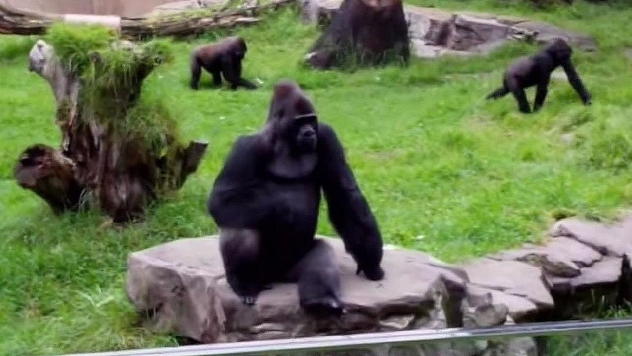 San Francisco Zoo gorilla enclosure