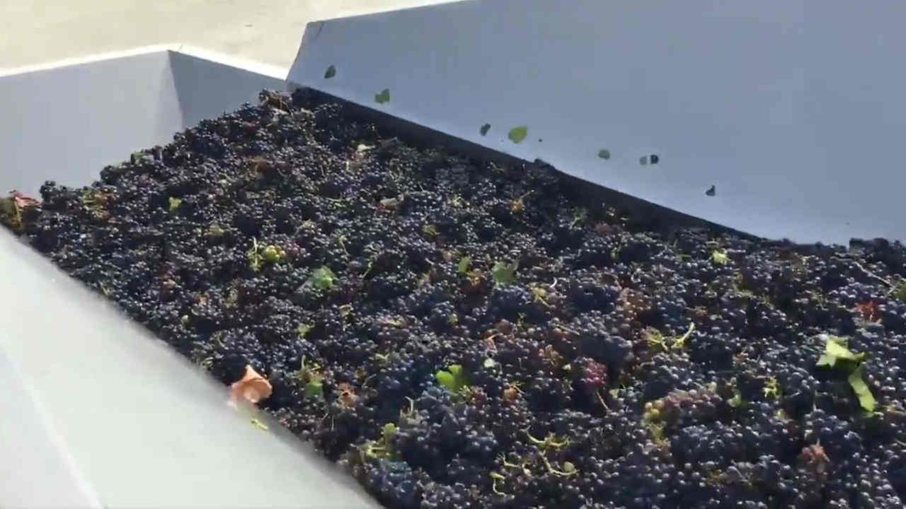 Grapes are seen during the first crush of the season at Gloria Ferrer Caves and Vineyards in Sonoma, Calif. on Wednesday, August 15, 2018.