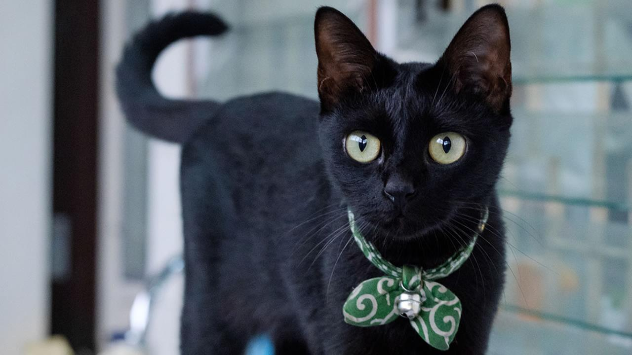 celebrate black cat appreciation day here are 7 reasons why black