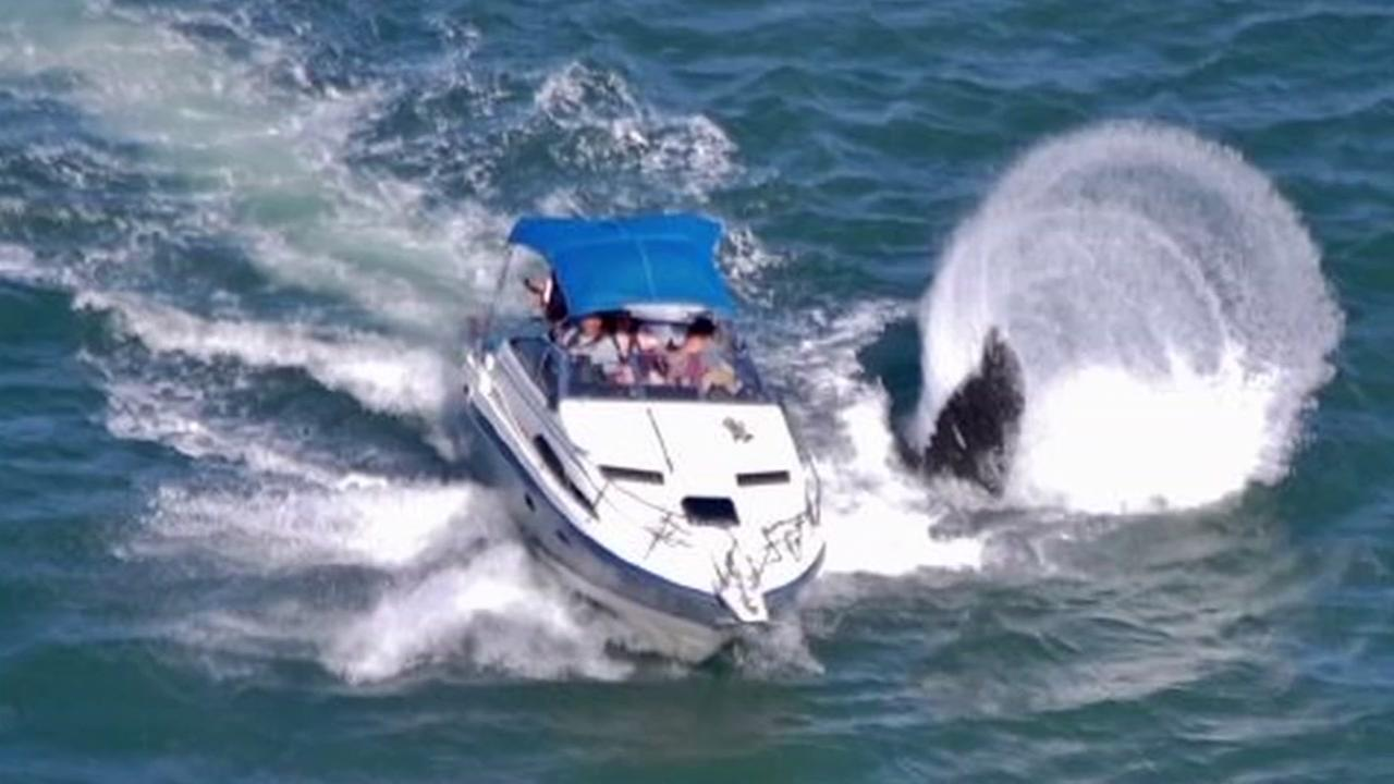 A boat has a close call with a whale in the San Francisco Bay in this undated image.