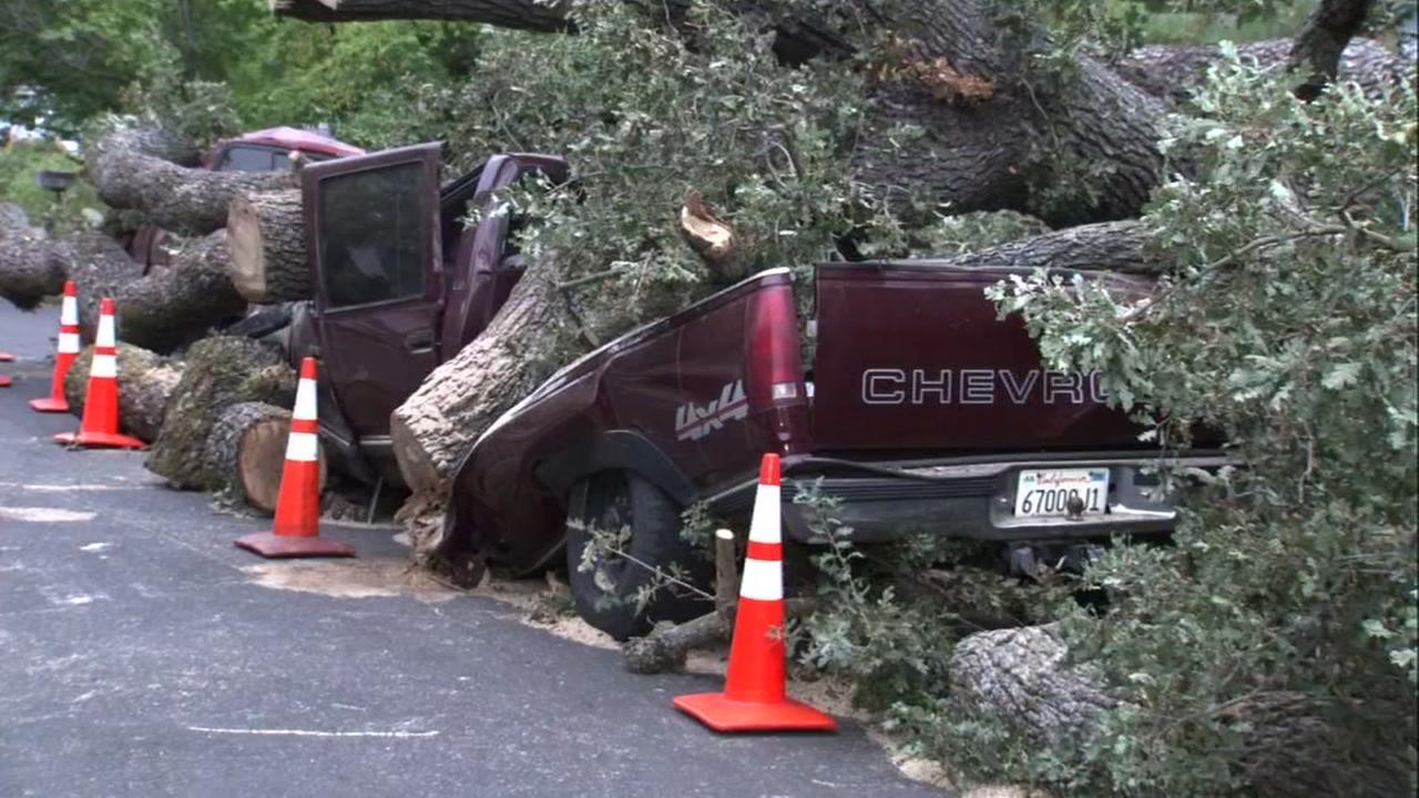 Sections of a 350-year-old tree named Emma fell in Pleasant Hill, Calf. On Thursday, August 30, 2018, crushing several cars.