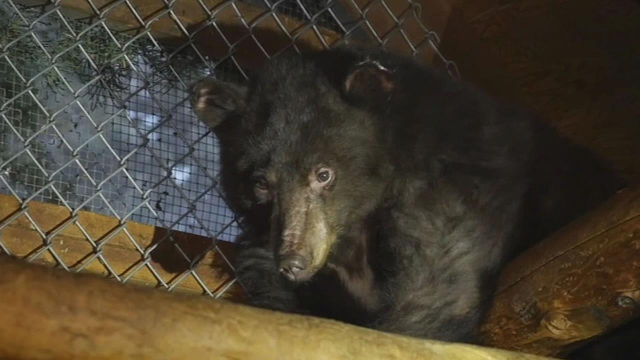 A badly burned bear cub named Cinder is treated at an animal rescue center in Lake Tahoe.