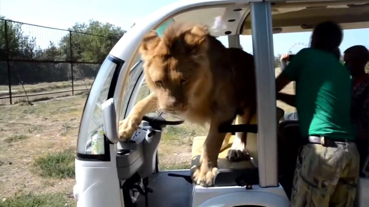 A lion commandeers a tourists caravan in Crimea.