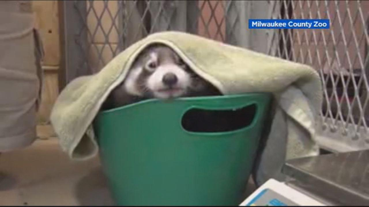 This undated image shows red panda cub at the Milwaukee County Zoo.