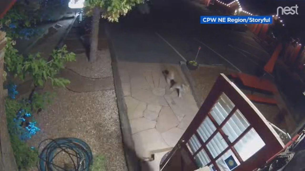 This image shows a mountain lion strolling through the front door of a Colorado motel on Sept. 9.