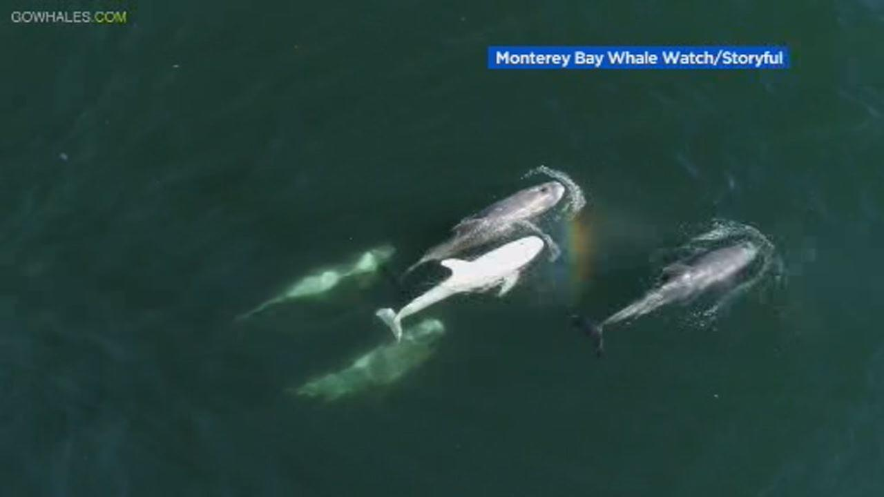 This image shows a rare albino Rissos dolphin in Monterey Bay on Sept. 20.