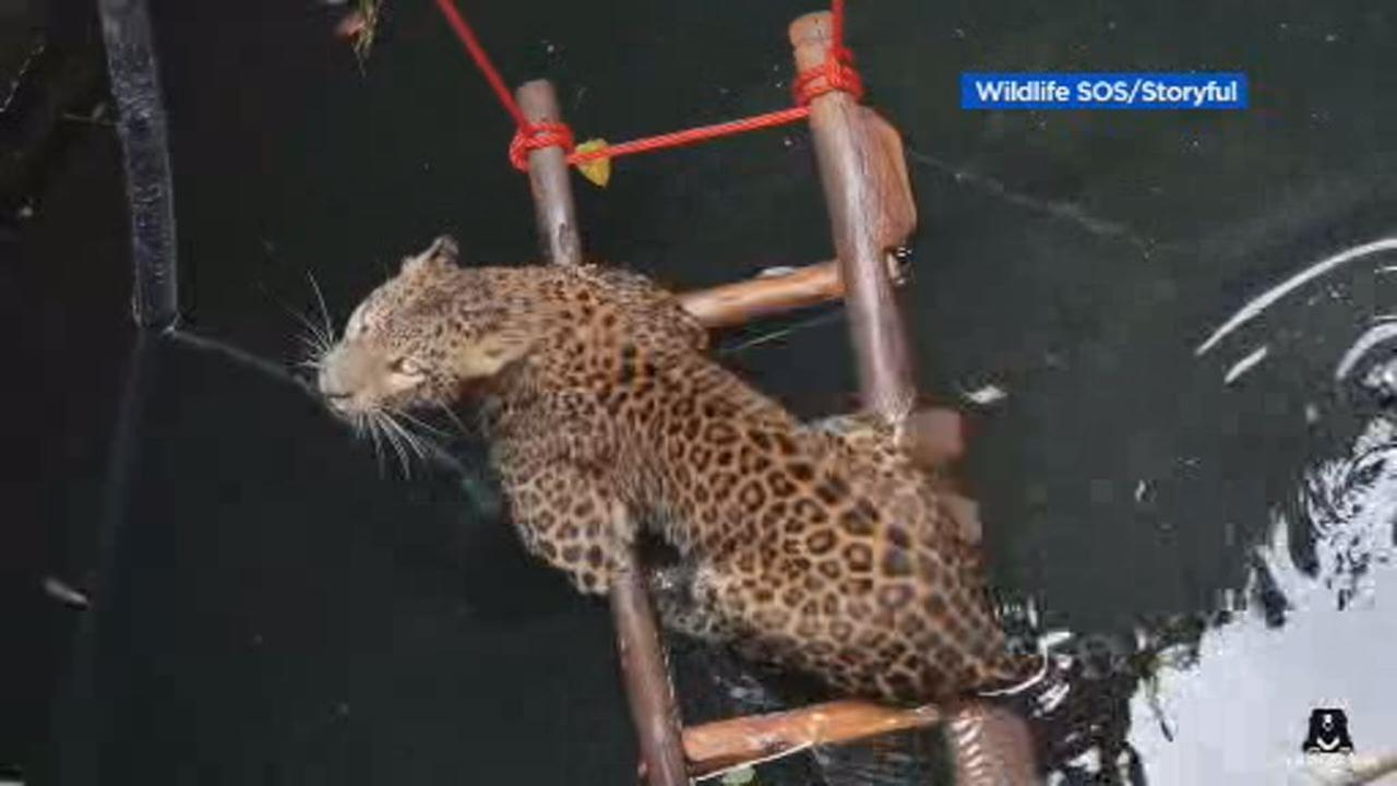 This image shows a trapped leopard at the bottom of a well in India before she was rescued, in early October.