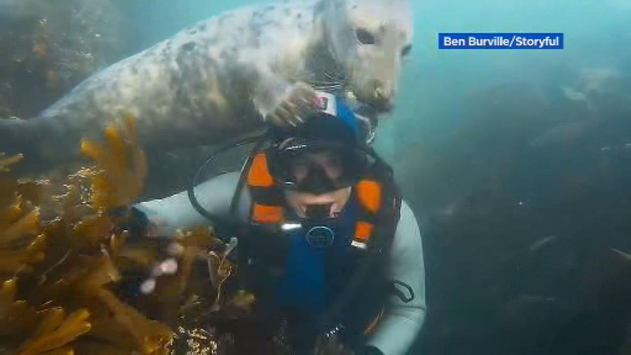 This image shows a curious seal cuddling up to a diver in the waters off the Farne islands, Northumberland on Oct. 7.