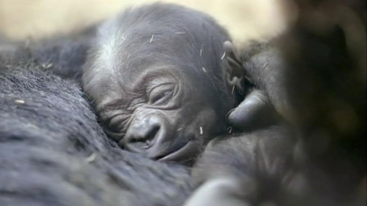 A 5-day-old baby gorilla made his public debut at the San Diego Zoo on Tuesday.