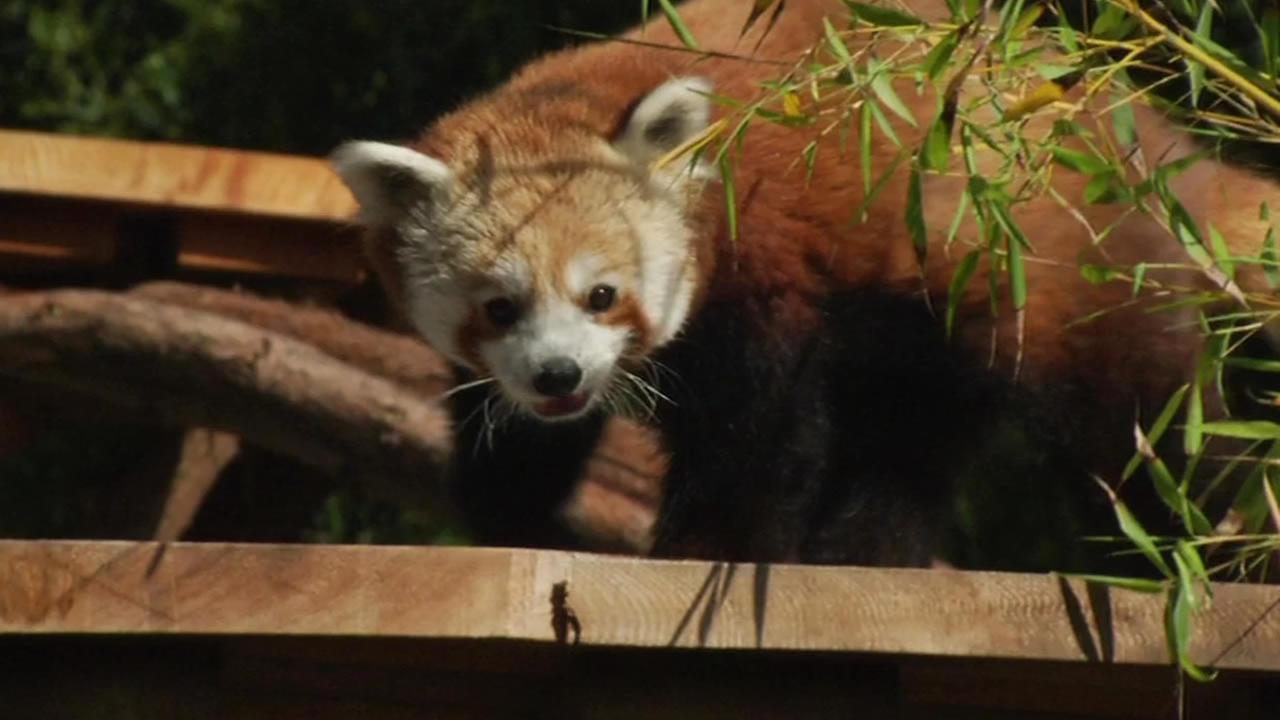 New red panda at the San Francisco Zoo.