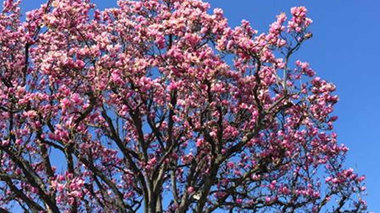 flowering trees