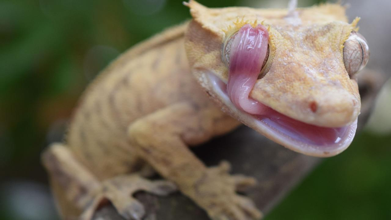 Grace Chung of Saratoga won the grand prize in the 2014 National Geographic International photography contest for her close-up picture of a gecko.