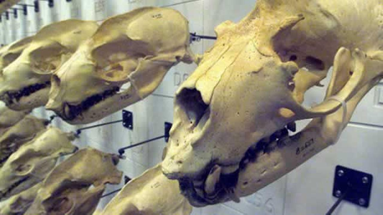 Join ABC7s Dan Ashley for this rare behind-the-scenes look at the making of Skulls at the California Academy of Sciences.