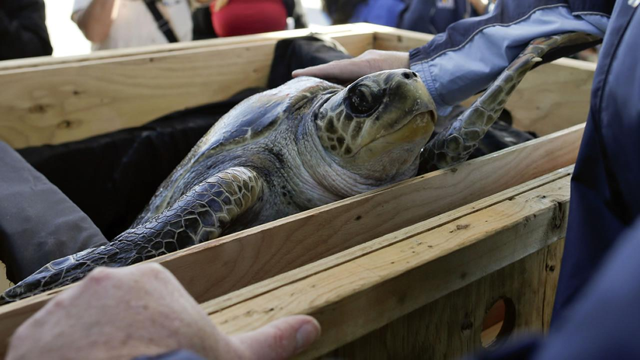 Solstice, a rescued endangered olive ridley sea turtle, looks out from a crate as she arrives to Tuesday, Feb. 24, 2015, in Coronado, Calif.